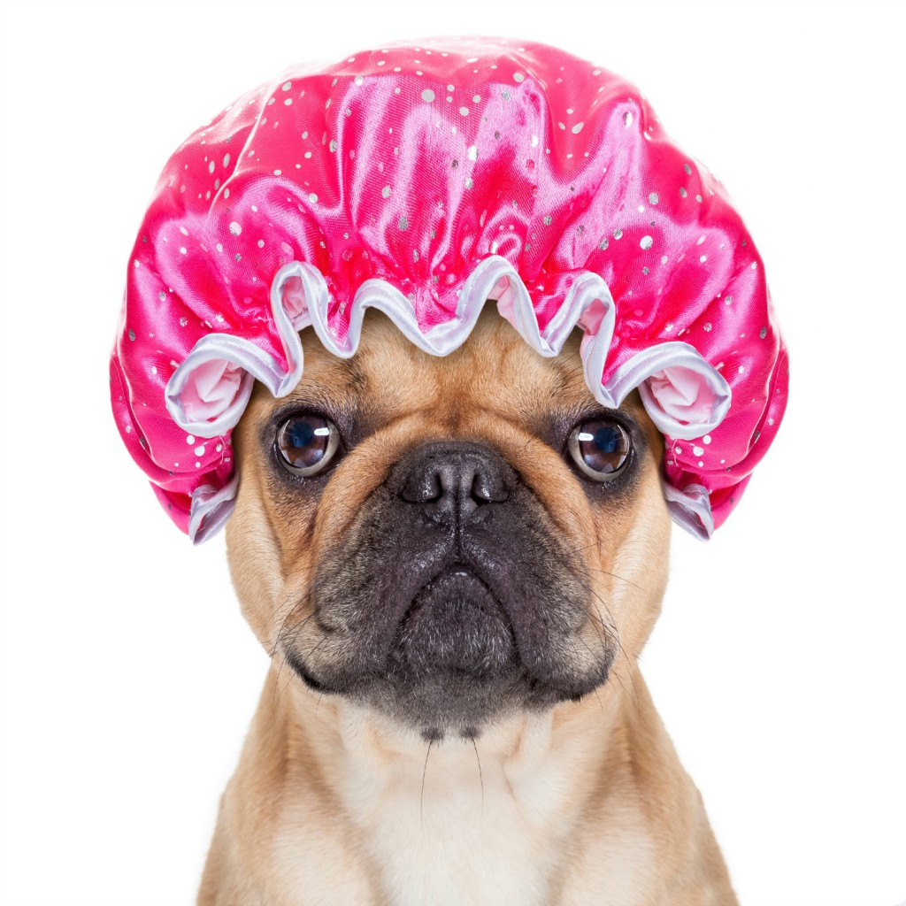 Dog grooming at Fox Valley Animal Hospital Wahroonga Pooch Parlour : french bulldog dog ready to have a bath or a shower wearing a bathing cap, isolated on white background